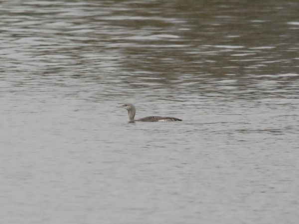 Red-throated Diver  - Sandra Niero