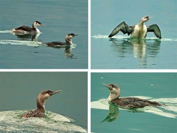 Red-throated Diver  - Marco Esposito