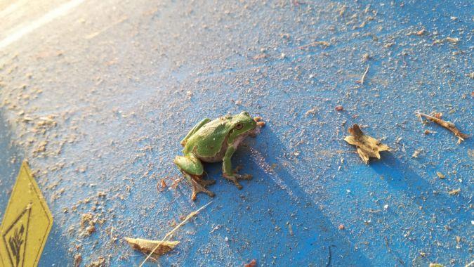 Italian Tree Frog  - Walter Sassi