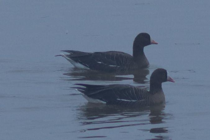 Lesser White-fronted Goose  - Helmut Frind