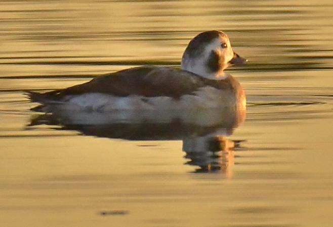 Long-tailed Duck  - Francesco de Luca