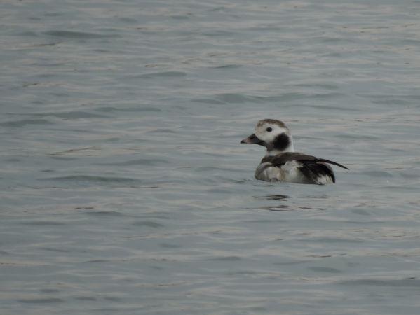 Long-tailed Duck  - Nicola Bonassin