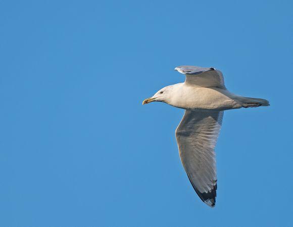 Caspian Gull  - Sergio Filippini