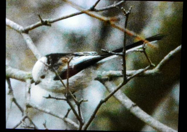 White-headed Long-tailed Tit (A.c.caudatus)  - Jacopo Barchiesi