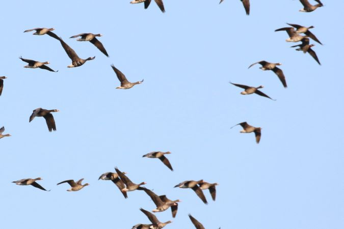 Greater White-fronted Goose  - Giancarlo Silveri