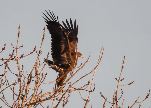 Greater Spotted Eagle  - Massimo Mozzoni