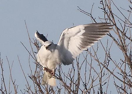 Black-winged Kite  - Maurizio Parenti