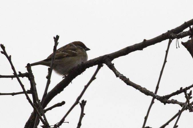 Eurasian Tree Sparrow  - Maurizio Sighele