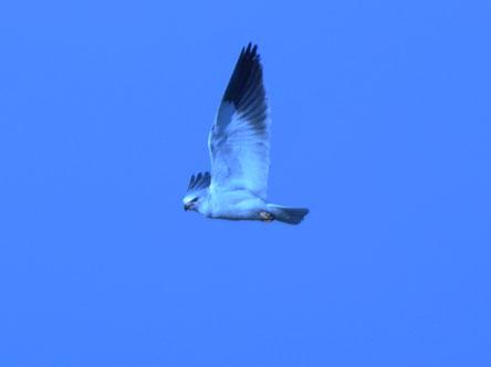 Black-winged Kite  - Renzo Falzoni
