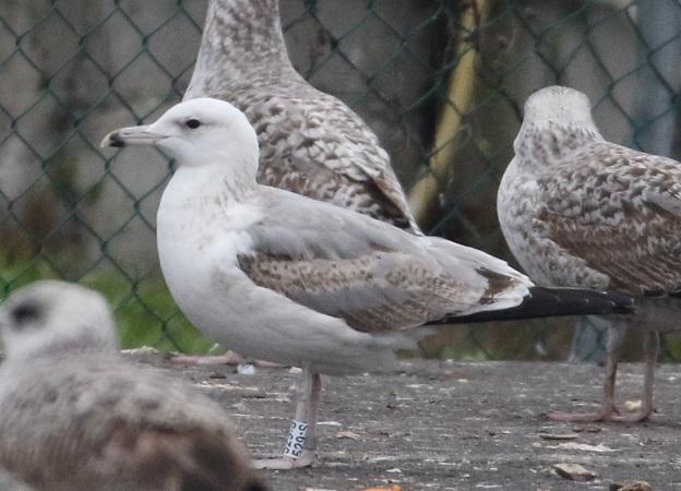 Caspian Gull  - Arno Schneider
