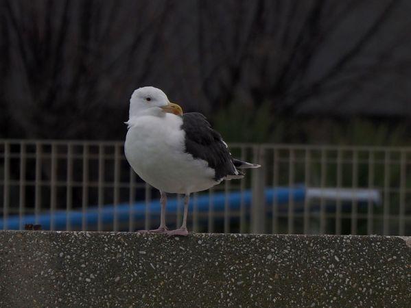 Great Black-backed Gull  - Stefano Tito