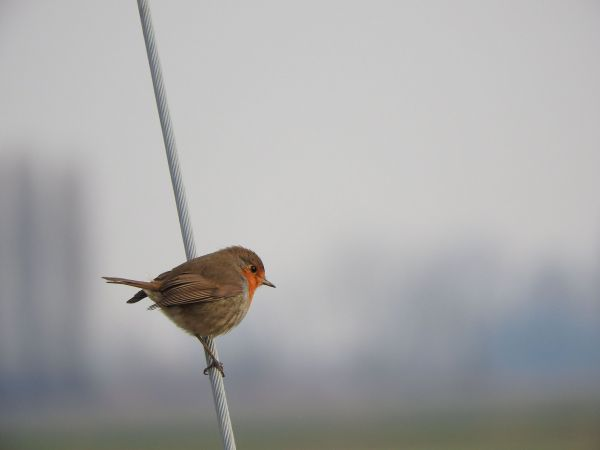 European Robin  - Francesco Scarton