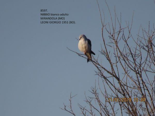 Black-winged Kite  - Giorgio Leoni