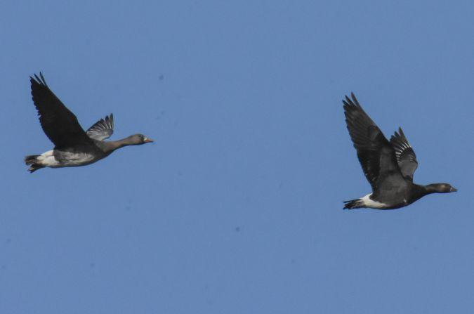 Goose hybrid, unidentified  - Francesco de Luca