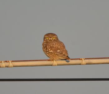 Little Owl  - Carlo Maria Giorgi