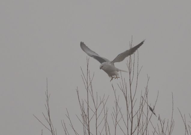 Black-winged Kite  - Luigi Gennari