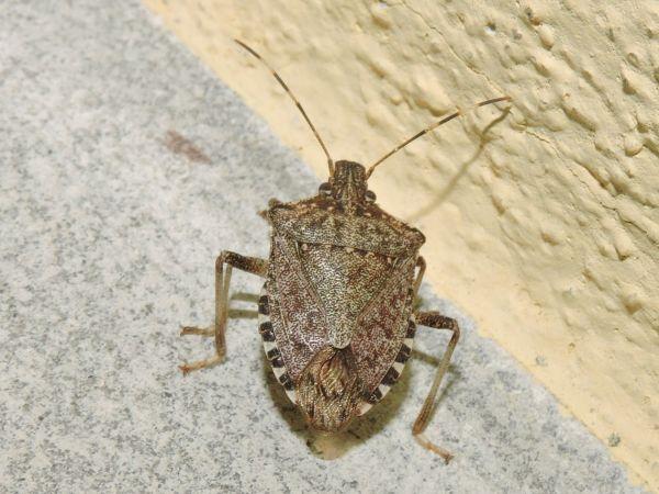 Brown Marmorated Stink Bug  - Nicola Bonassin