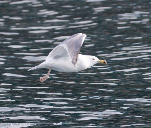Caspian Gull  - Scridel Davide