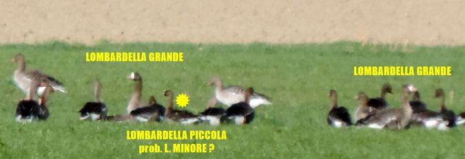 Lesser White-fronted Goose  - Michele Lamberti