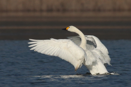 Bewick's Swan  - Moreno Nalin