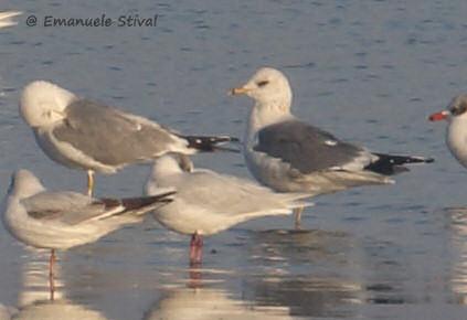 Common Gull (L.c.heinei)  - Emanuele Stival