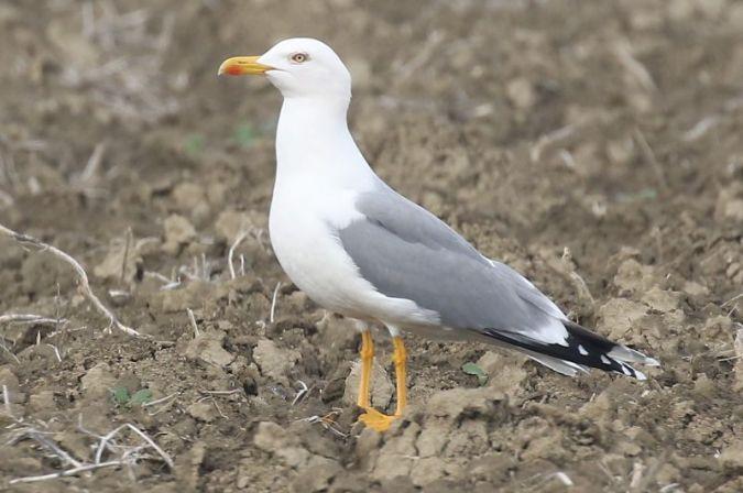 Yellow-legged Gull  - Luca Boscain