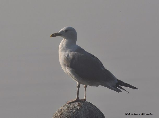Caspian Gull  - Andrea Mosele