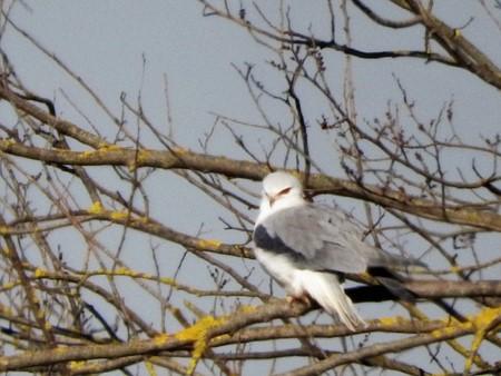 Black-winged Kite  - Patrizio Gigli