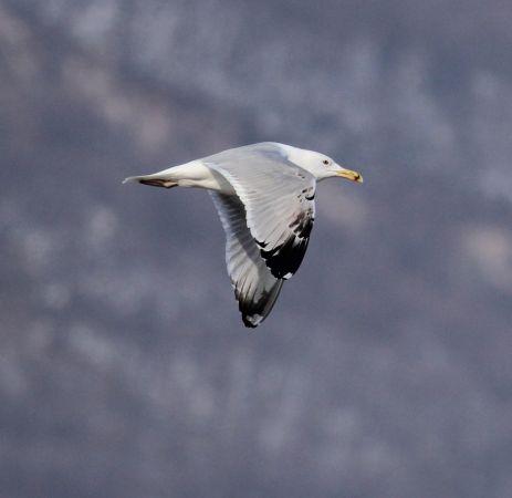 Caspian Gull  - Giacomo Assandri