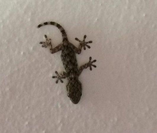Moorish Gecko  - Emiliano Verza