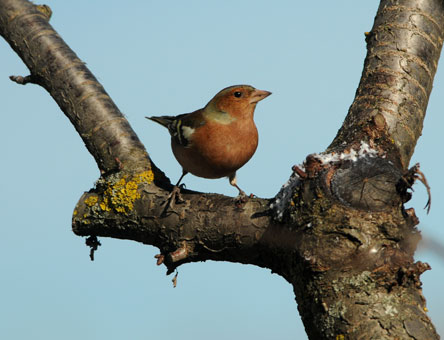 Common Chaffinch  - Renzo Falzoni