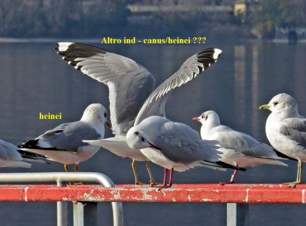 Common Gull (L.c.heinei)  - Luca Giussani