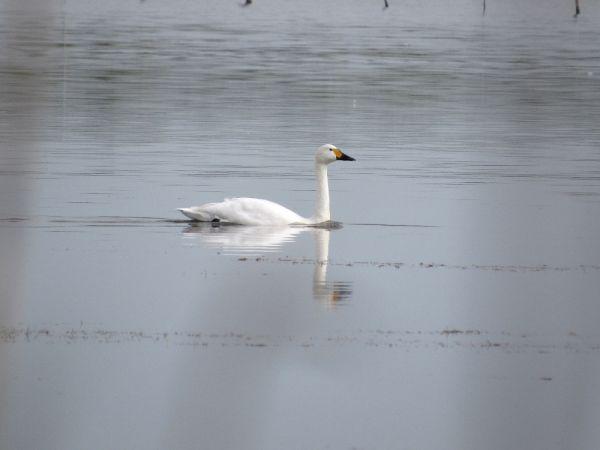 Bewick's Swan  - Pietro Melandri