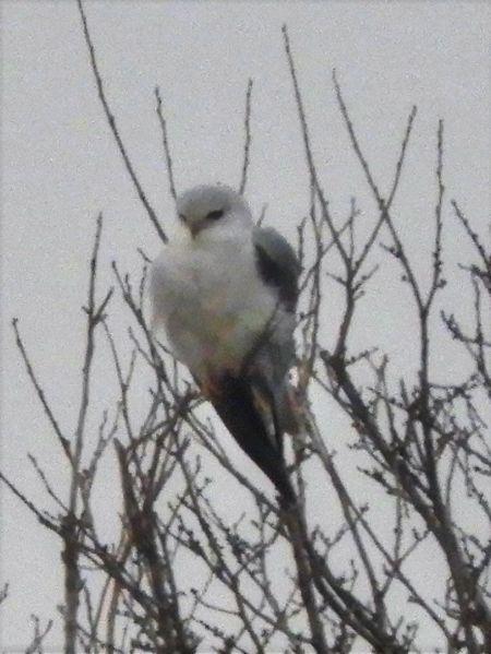 Black-winged Kite  - Massimo Tassinari
