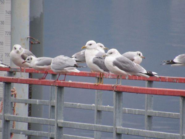 Common Gull (L.c.heinei)  - Lorenzo Lanzani