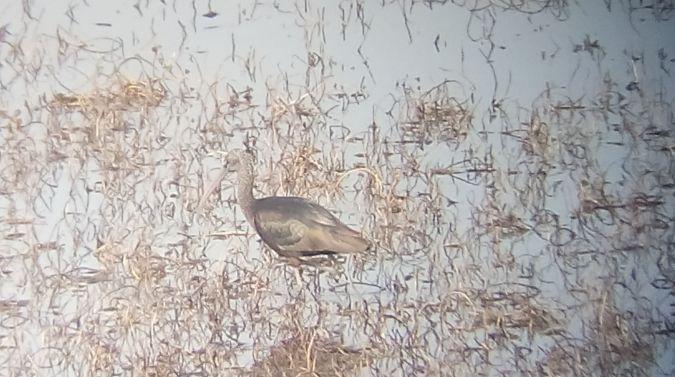 Glossy Ibis  - Luca Nigro