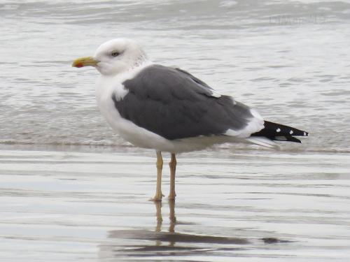 Heuglin's Gull  - Dimitri Marrone