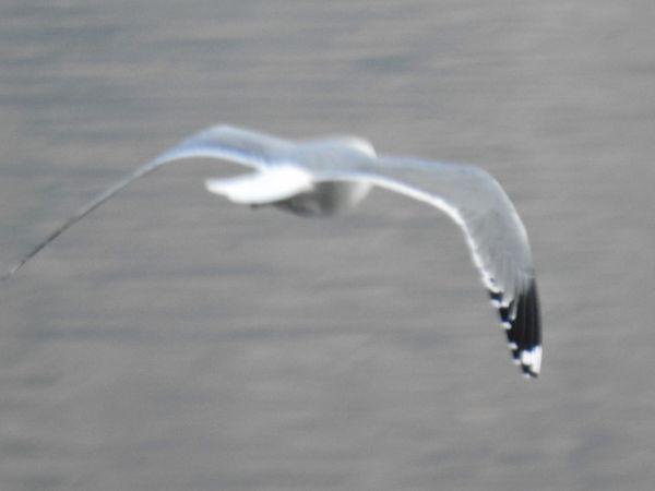 Common Gull (L.c.heinei)  - Piero Bonvicini