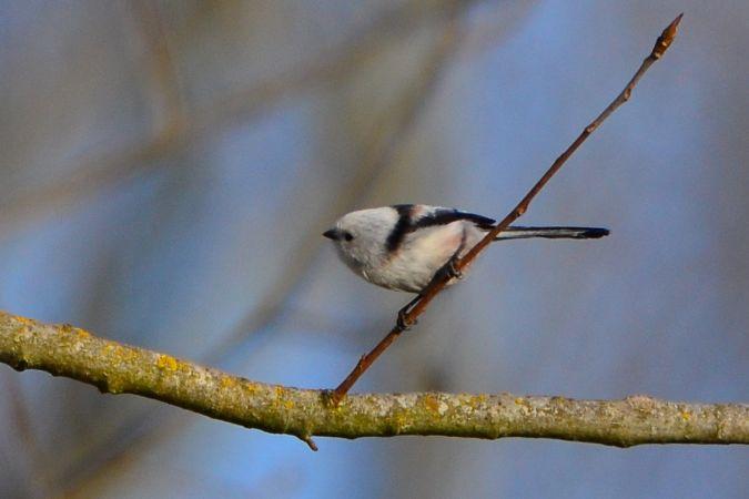 White-headed Long-tailed Tit (A.c.caudatus)  - Alessandro Pavesi