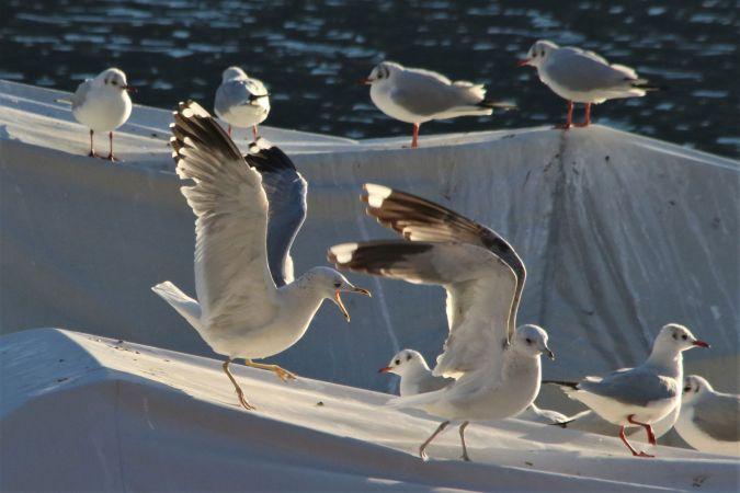 Common Gull (L.c.heinei)  - Giuliana Pirotta