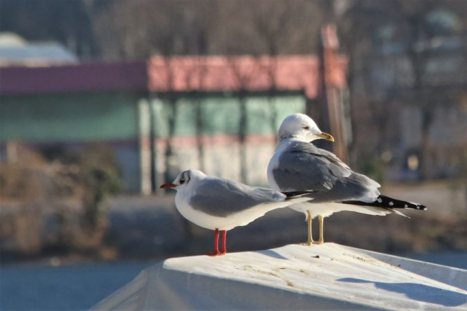 Common Gull (L.c.heinei)  - Giuliana Pirotta