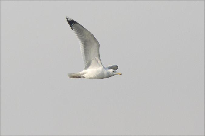 Caspian Gull  - Lorenzo Maffezzoli