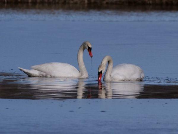 Mute Swan  - Giuseppe Taverna