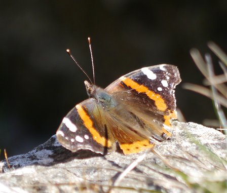 Red Admiral  - Giampaolo Bonora