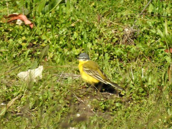 Western Yellow Wagtail (M.f.beema)  - Dario Salemi