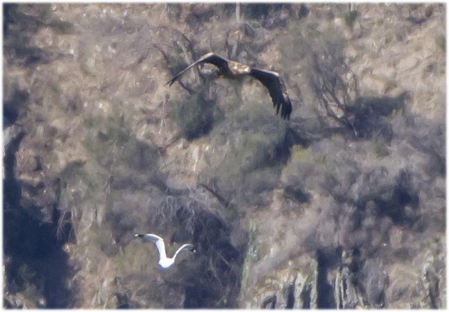 White-tailed Eagle  - Giovanni Fontana