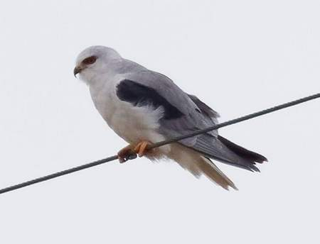 Black-winged Kite  - Paolo Monti