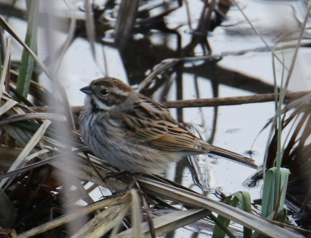 Common Reed Bunting  - Horand Maier