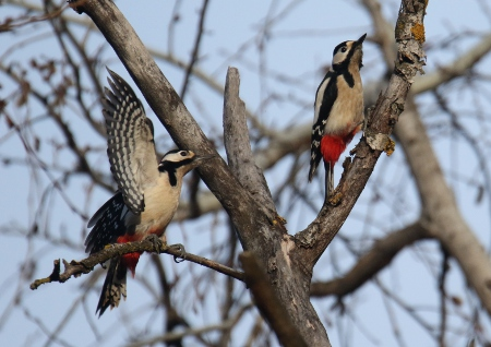 Great Spotted Woodpecker  - Horand Maier