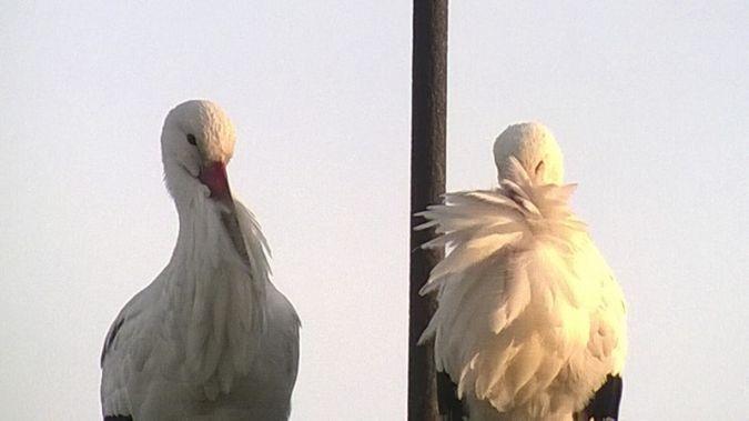 White Stork  - Marco Sozzi